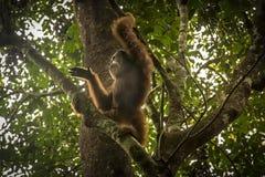 Wilde Orangoetan in de wildernis Royalty-vrije Stock Foto's