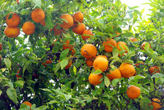 Wilde oranje boom Royalty-vrije Stock Afbeeldingen