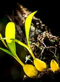 Wilde orchideeën Royalty-vrije Stock Foto's