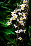 Wilde orchideeën Royalty-vrije Stock Fotografie