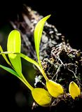 Wilde orchideeën Stock Afbeelding