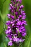 Wilde orchidee Stock Afbeeldingen