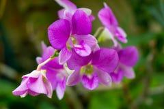 Wilde Orchidee Lizenzfreie Stockfotografie