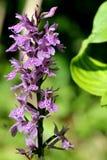 Wilde Orchidee Stockfoto