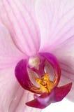 Wilde orchidee Royalty-vrije Stock Afbeelding