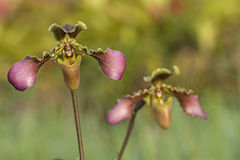 Wilde Orchidee lizenzfreie stockbilder