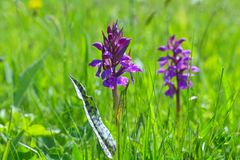 Wilde orchidee Stock Afbeelding