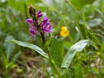 Wilde Orchidee in den bayerischen Alpen Stockfoto