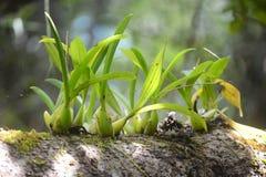 Wilde orchidee op boom stock afbeelding