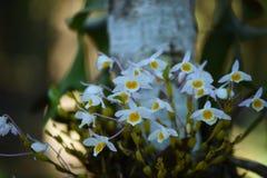 Wilde Orchidee selten und herrlich lizenzfreie stockbilder