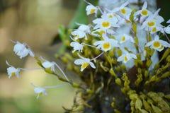 Wilde Orchidee selten und herrlich stockfotografie