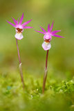 Wilde orchidee van Finland Calypsobulbosa, mooie roze orchidee Bloeiende Europese aardse wilde orchidee, aardhabitat, deta stock fotografie