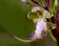 Wilde Orchideeblume Lizenzfreie Stockfotografie