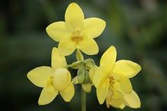 Wilde Orchideen. Borneo. Lizenzfreie Stockbilder