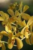 Wilde Orchideen. Borneo. Lizenzfreie Stockfotos