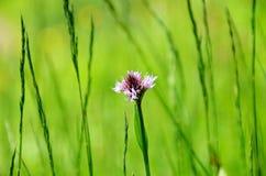 Wilde Orchideen in der Wiese Lizenzfreie Stockfotografie