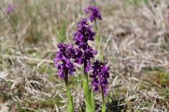 Wilde Orchideen im Wiese Anacamptis-morio Stockbilder