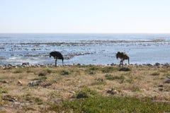 Wilde Ostriche royalty-vrije stock afbeelding