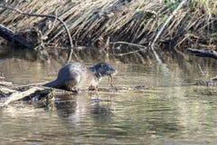 Wilde otter in echt wild milieu Stock Foto's