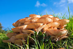 Wilde paddestoelen in de herfst onder een blauwe hemel stock foto's