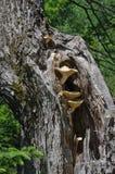 Wilde paddestoelen die in esdoornboom groeien Royalty-vrije Stock Foto's