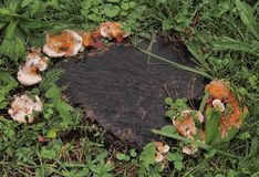 Wilde paddestoelen op boom stuimp royalty-vrije stock fotografie