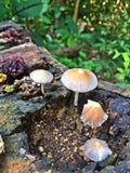 Wilde paddestoelen - tropisch regenwoud Royalty-vrije Stock Foto