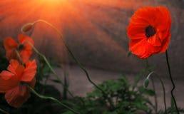 Wilde papaverbloem in de zon herinnering Royalty-vrije Stock Foto
