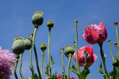 Wilde papaverbloemen en struiken Stock Fotografie
