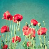 Wilde papaverbloemen op de zomerweide Bloemen achtergrond royalty-vrije stock afbeeldingen