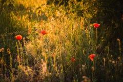 Wilde papavers bij zonsondergang Stock Foto's