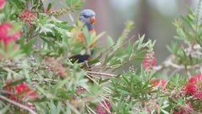 Wilde papegaai in Australië stock footage