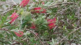 Wilde papegaai in Australië stock videobeelden