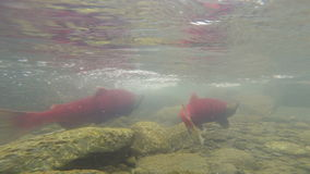 Wilde pazifische rosa Salmon Spawning Clear Glacier Stream-Tier-wild lebende Tiere stock video