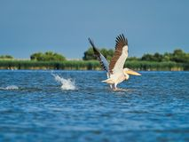 Wilde Pelikane im Donau-Delta in Tulcea, Rumänien stockfoto