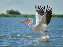 Wilde Pelikanen in de Delta van Donau in Tulcea, Roemenië royalty-vrije stock afbeelding