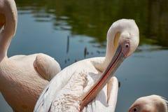 Wilde pelikanen op het meer royalty-vrije stock afbeeldingen