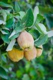 Wilde peren die op een boom in een oase in Marokko, Noord-Afrika groeien stock afbeeldingen