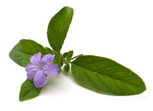 Wilde Petunia Royalty-vrije Stock Fotografie