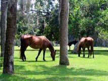 Wilde Pferde lizenzfreies stockfoto