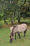 Wilde Pferde Lizenzfreies Stockbild