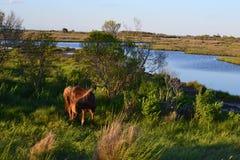 Wilde Pferde in Assateaque-Insel, Maryland Stockbilder
