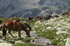 Wilde Pferde auf Bachquerneigung I Stockbilder