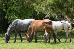 Wilde Pferde auf Cumberland-Insel Lizenzfreie Stockfotos