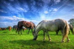 Wilde Pferde auf dem Feld Stockfotos