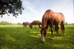 Wilde Pferde auf dem Feld stockbilder