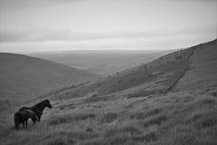 Wilde Pferde auf dem Heidemoor Stockfoto