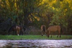 Wilde Pferde auf dem Salt River stockfotos