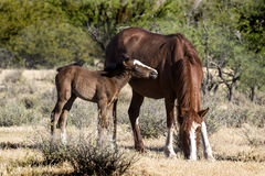 Wilde Pferde auf dem Salt River, Tonto-staatlicher Wald lizenzfreie stockfotos