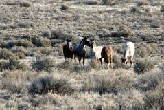 Wilde Pferde auf Malheur-Staatsangehörig-Schutzgebiet stockfotos